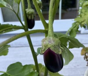 small eggplants growing
